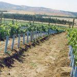 Blue x grow tube vineyard rows