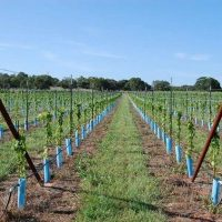 Blue X grow tubes vineyard